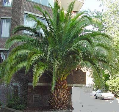 canary date palm tree. Canary Date Palms are awesome,